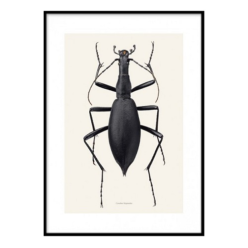 Poster Insekt - Carabus blaptoides A3 30x40 cm